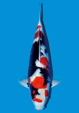 Sekiguchi Showa 52cm